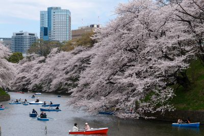 Beautiful Cherry Blossoms on a Maction Planet Sakura Tour