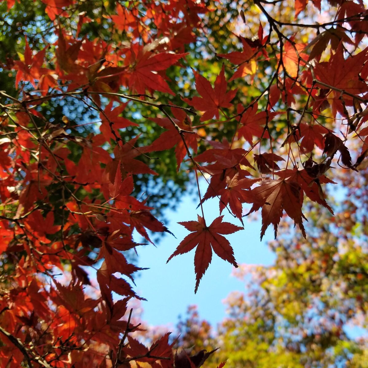 Autumn Leaves in Tokyo seen on a Maction Planet Tokyo Private Tour