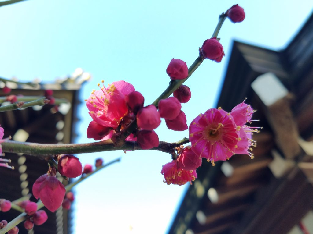 Dark Pink Ume Plum Blossom in Tokyo seen on a Maction Planet Tokyo Private Tour