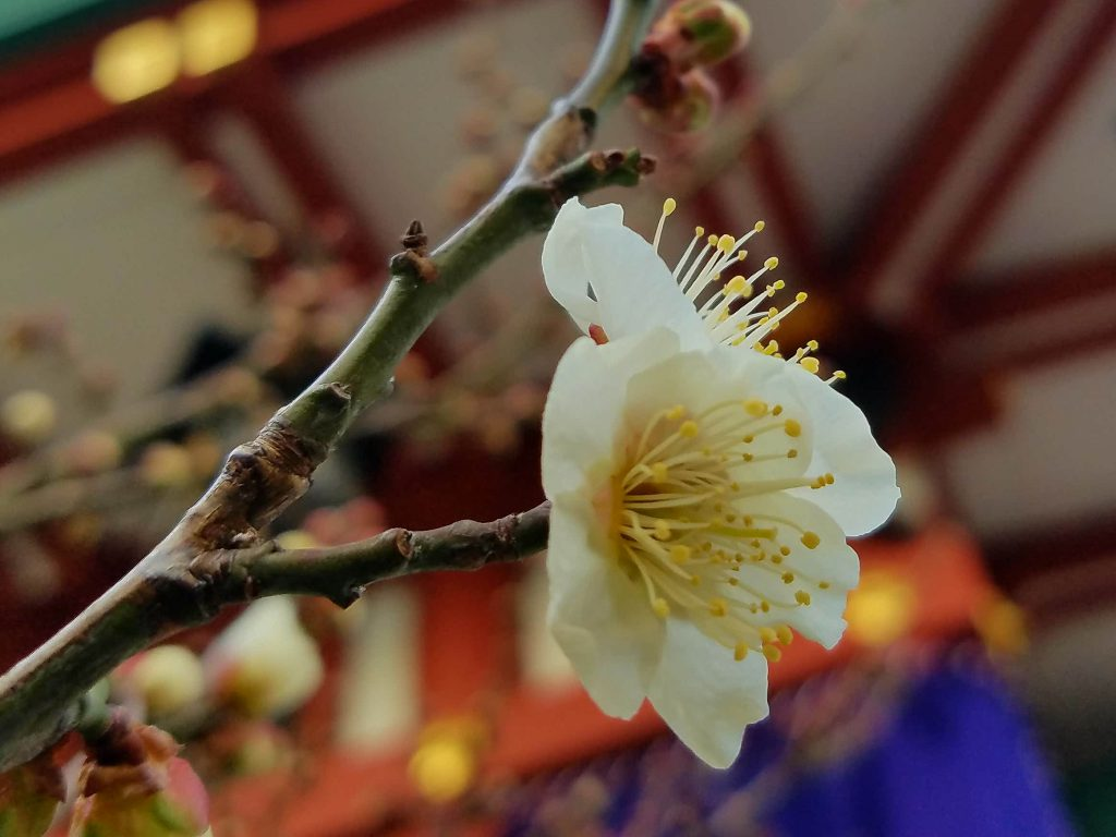 Plum Blossom with temple behind seen on a Tokyo Private Tour