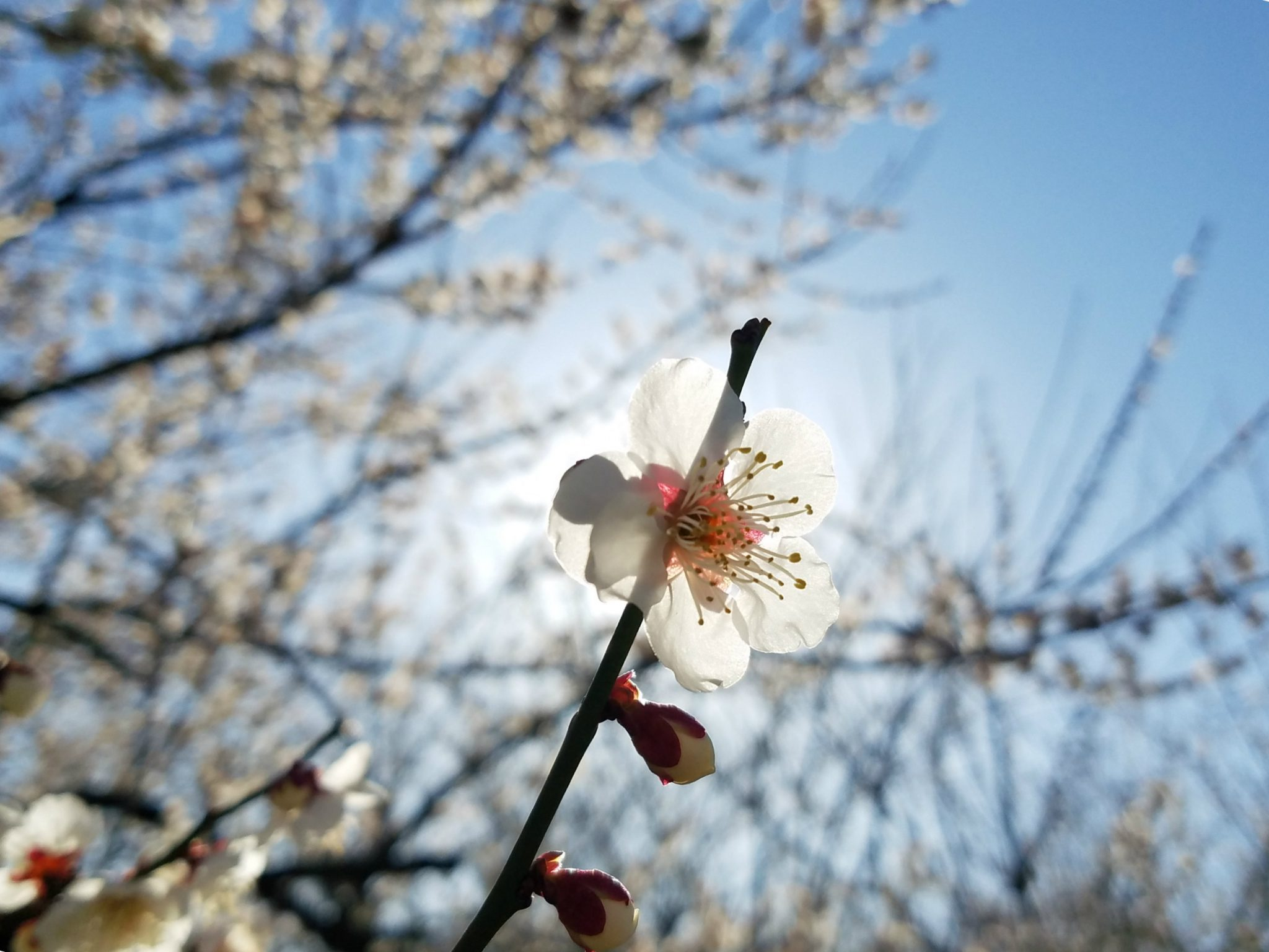 Sun shines behind an ume plum blossom seen on a Maction Planet Tokyo Private Tour