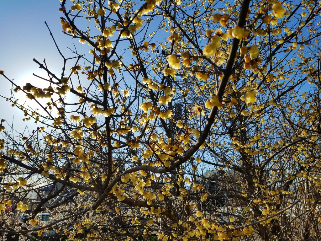 Yellow Plum Blossom seen on a Maction Planet Tokyo Private Tour