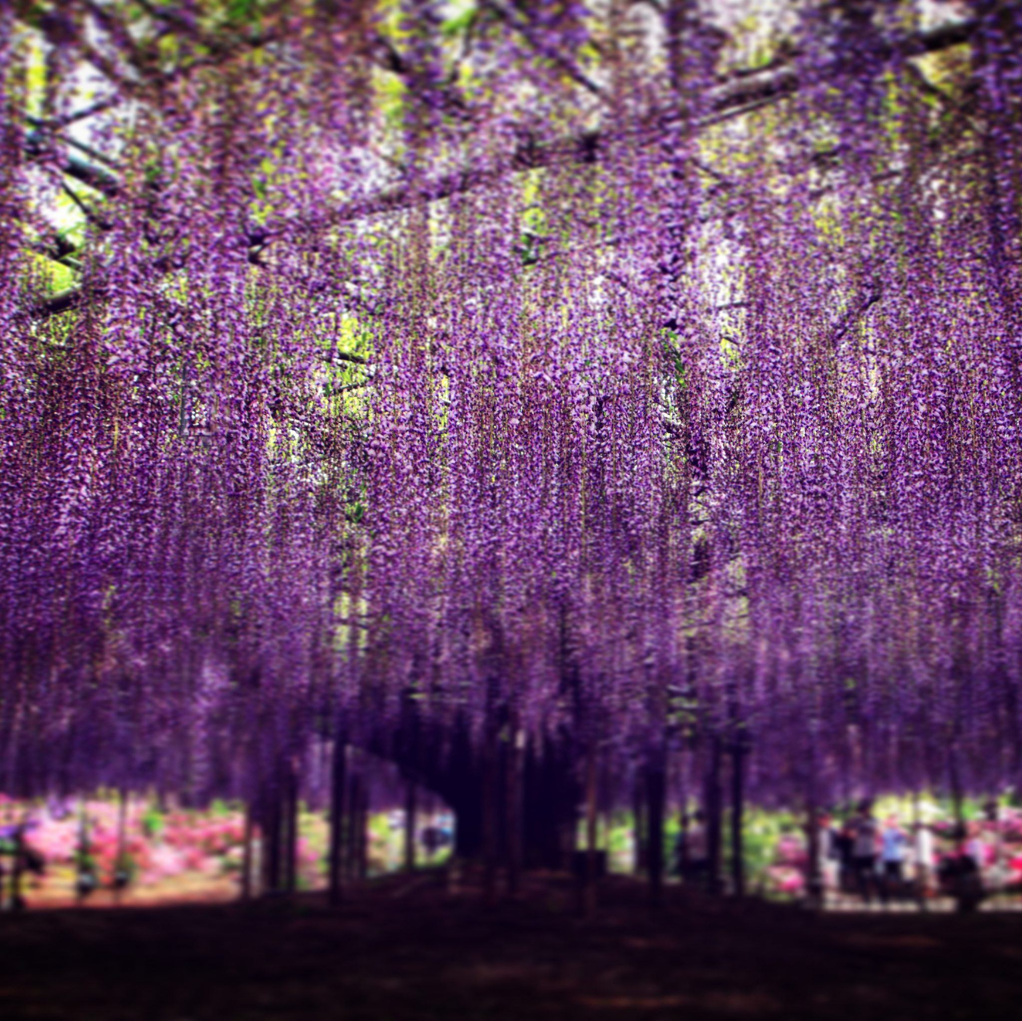 Wisteria Fujii seen on a Maction Planet Tokyo Private Tour