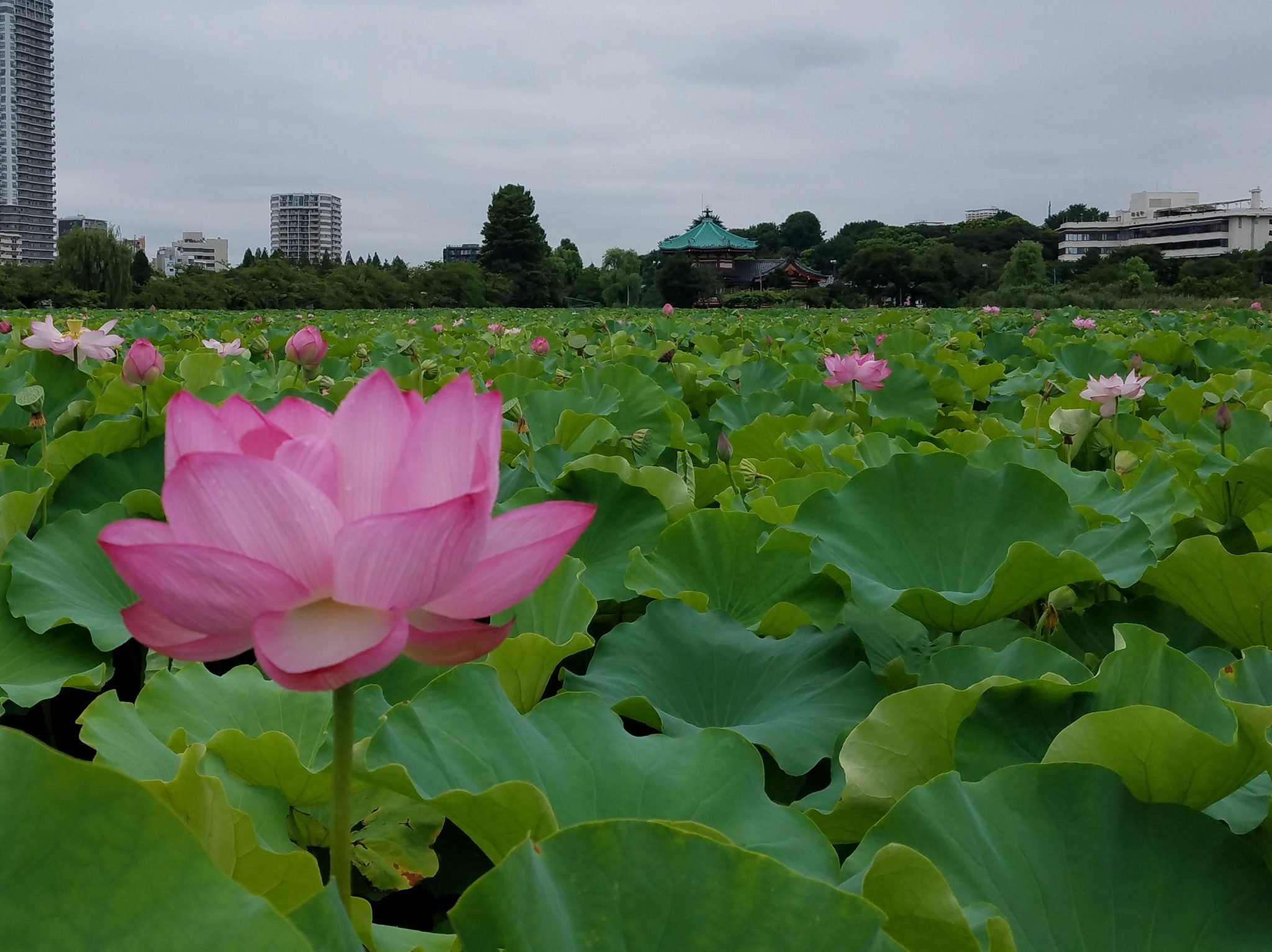 Shinobazu Pond in Ueno Park with Lotus Blooming seen on a Maction Planet Tokyo Private Tour