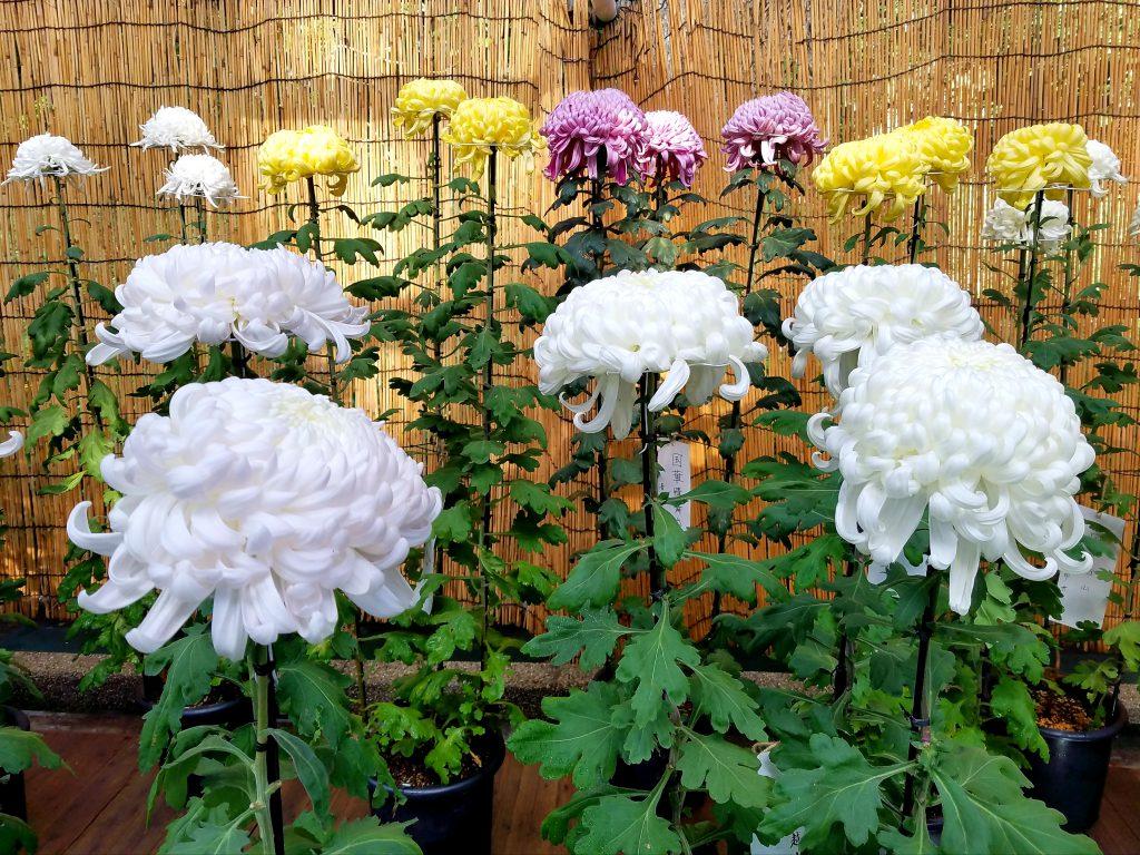 Chrysanthemums at Meiji Jingu