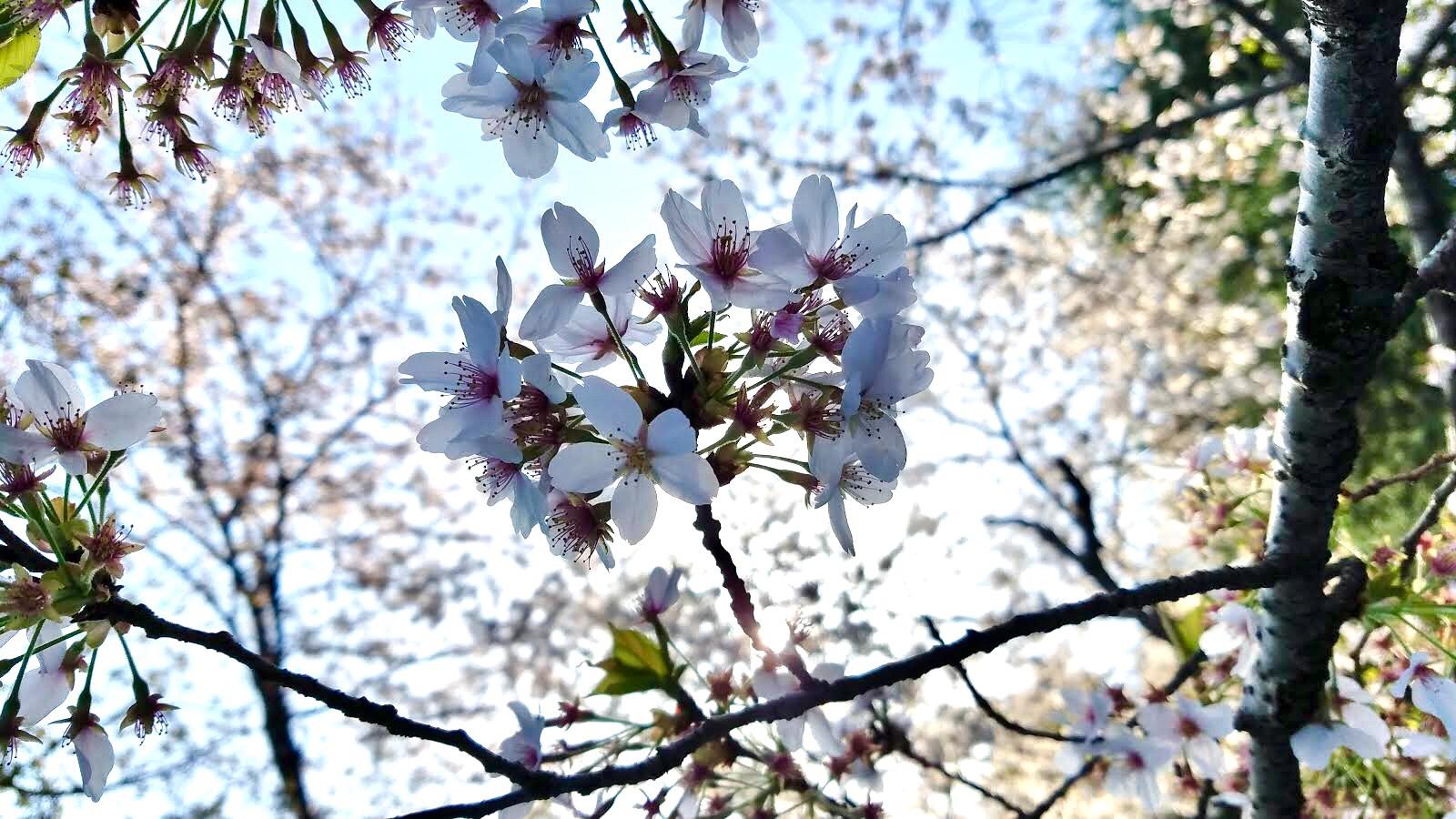 Tokyo Cherry Blossom party: Maction Planet x Shochu.Pro Hanami 2019