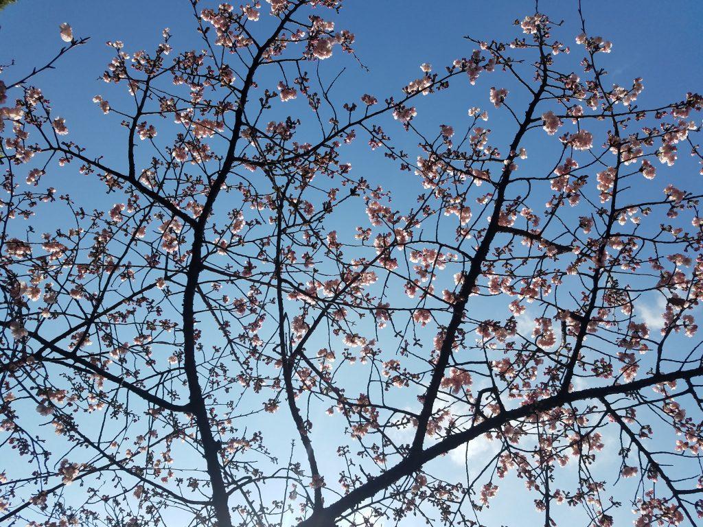 Sakura Begins: Kawasu Sakura in Ueno Park