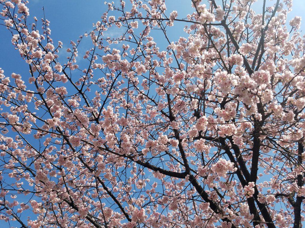 Okanzakura in Hibiya Park