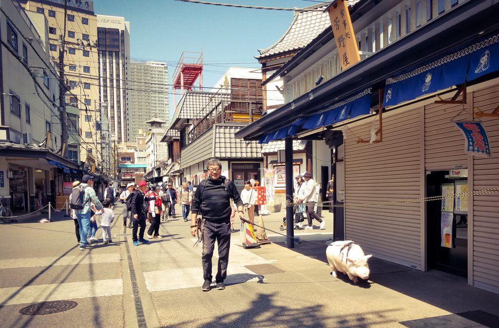 Man walking a pig in Asakusa, Tokyo on 20 April 2019