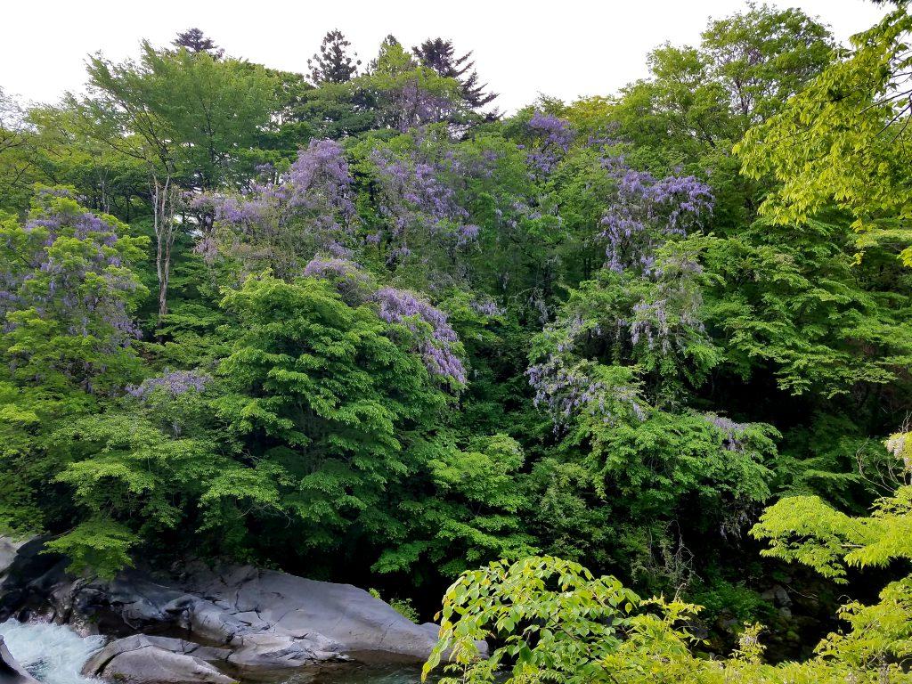 Wild Wisteria in Nikko