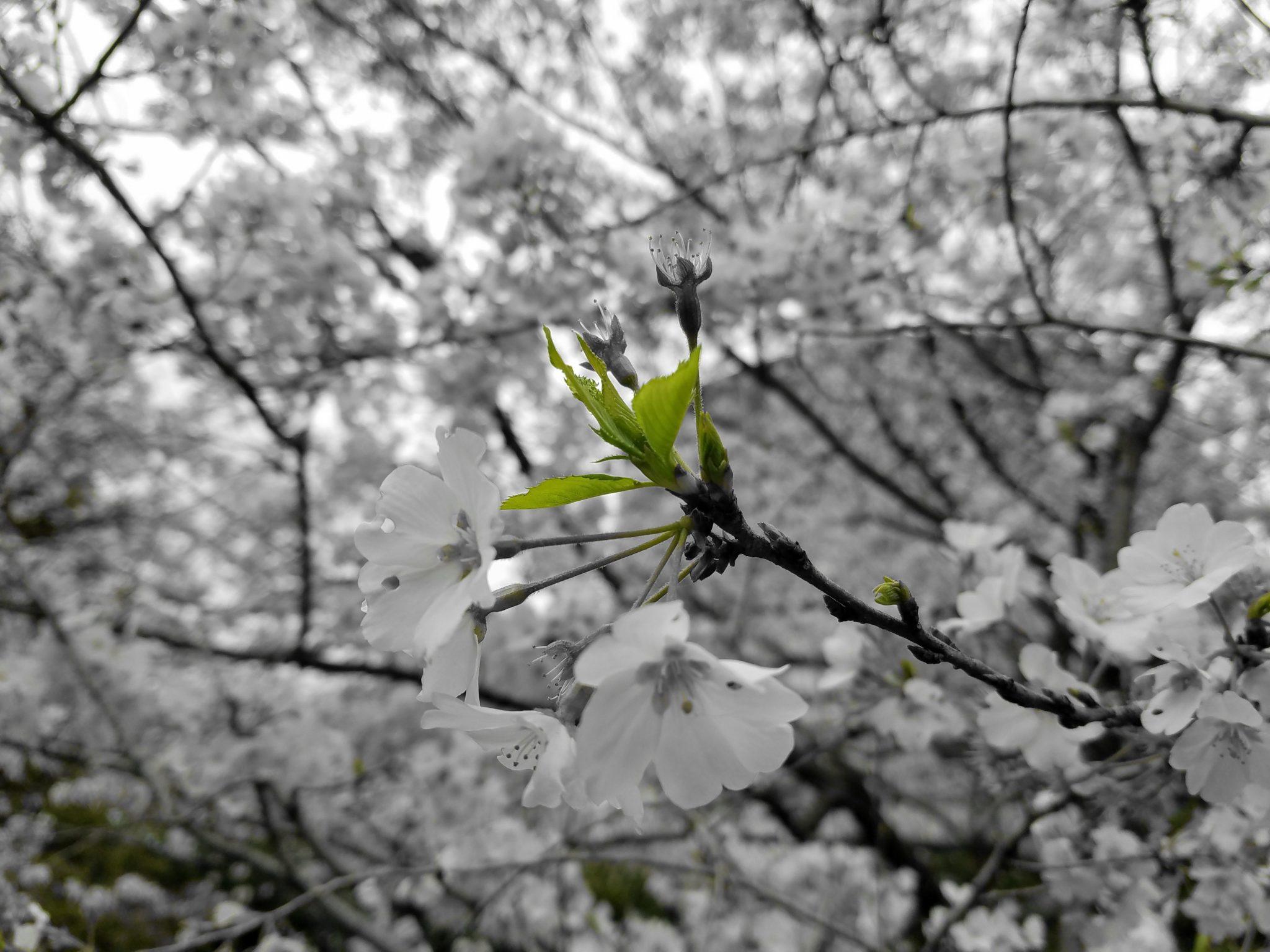 The Rebirth of Sakura by Maction Planet Bespoke Japan Travel