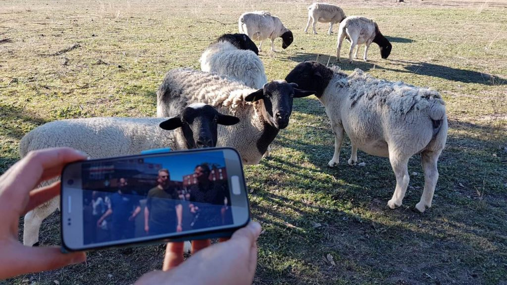 Tacha and her sheep in Tamworth, New South Wales, Australia watching Triangle Thrillers on NHK World