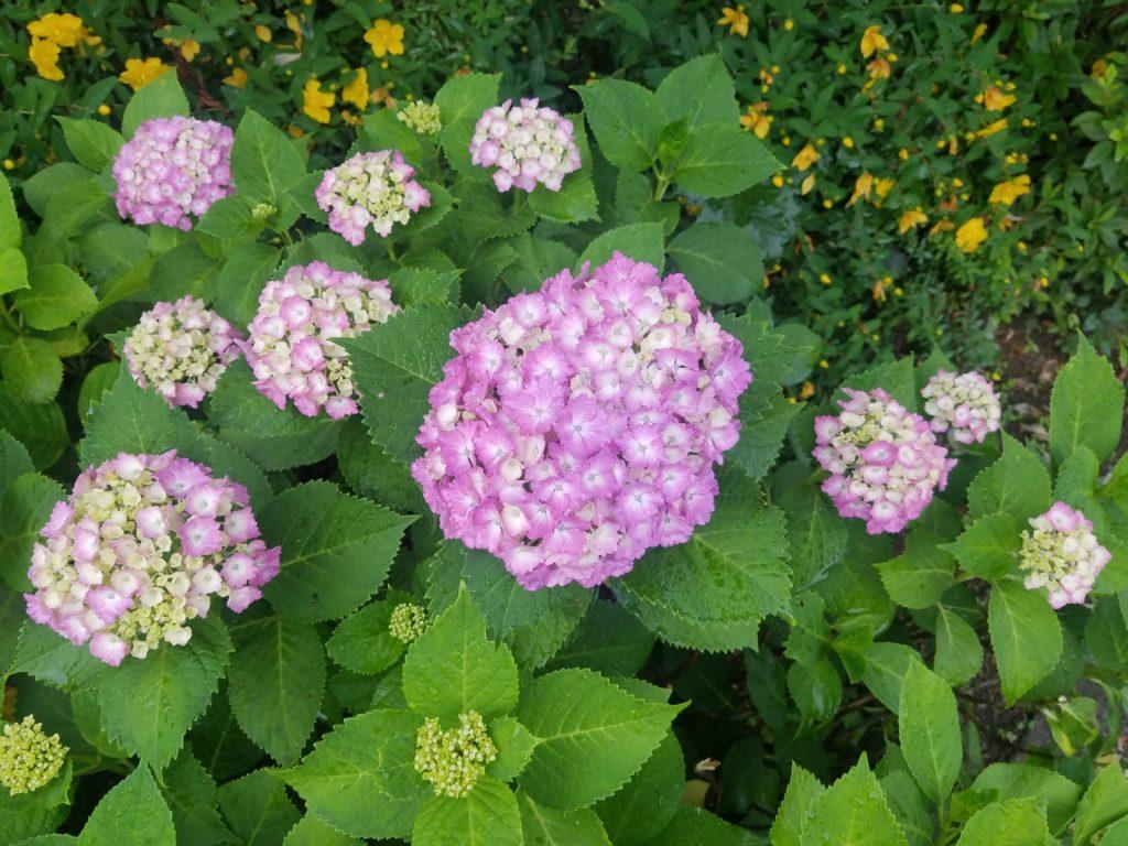 Hydrangeas (Ajisai | 紫陽花) in bloom in Sangenjaya, Tokyo