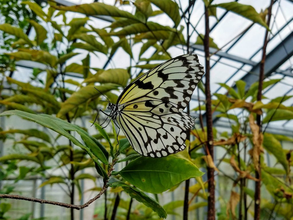Paper Kite butterfly on Yubu Island