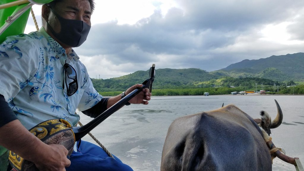 Sanshin-playing driver on the Water Buffalo taxi from Iriomote Island to Yubu Island