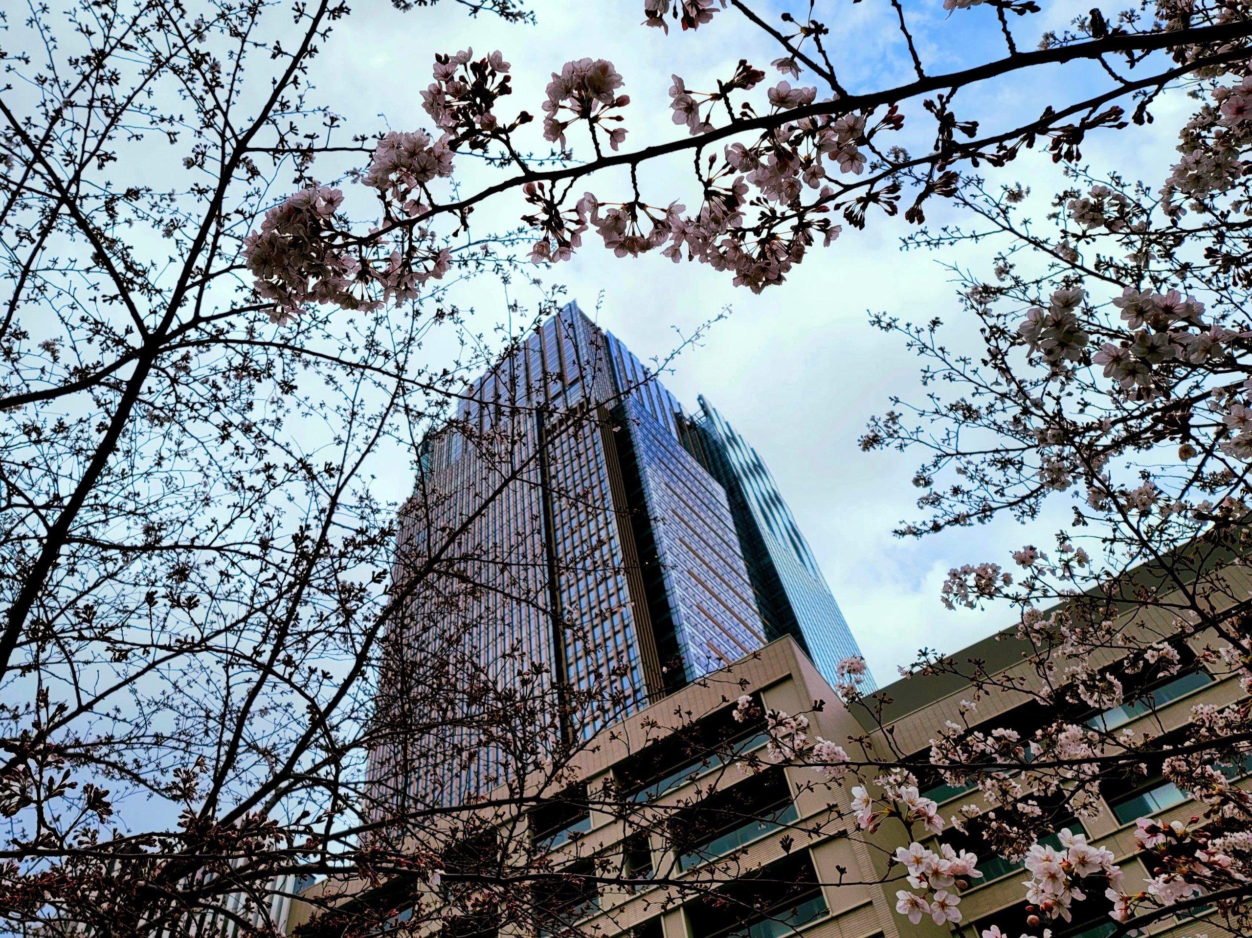 Sakura at Tokyo Midtown