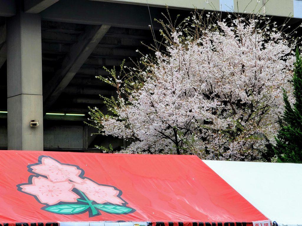 Cheery Blossom at Chichinomiya Rugby Stadium, Tokyo