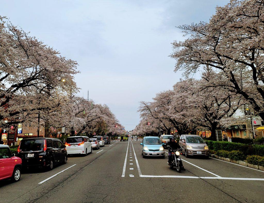Kunitachi Daigaku-Dori during sahkura cherry blossom full bloom